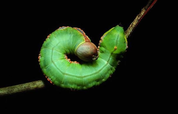 Janzen_Caterpillar2(GreenWithBlueAndOrangeStripe)